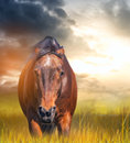 Angry horse with ears laid back in a field at sunset Royalty Free Stock Image