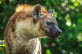 Angry hyena in the forest Stock Photography