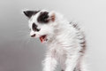 Angry kitten hisses Royalty Free Stock Photo
