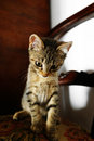 angry kitten staring at the camera Royalty Free Stock Photo
