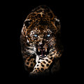 Angry leopard piercing through the night Royalty Free Stock Images