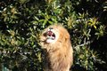 Angry lion roaring, with furry mane showing its teeth