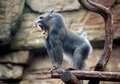 Angry mandrill Royalty Free Stock Images