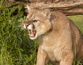 Angry Mountain Lion Royalty Free Stock Photo
