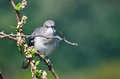 Angry northern mockingbird perched in a tree on thorny branch Stock Images