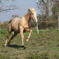 Angry palomino horse attacking running on pasturage in autumn Stock Photos