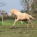 Angry palomino horse attacking running on pasturage in autumn Stock Images