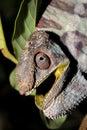 Angry Panther Chameleon Furcif...