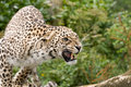 Angry Persian Leopard Royalty Free Stock Photo