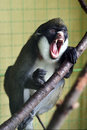Angry Primate