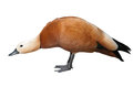 Angry ruddy shelduck Stock Images