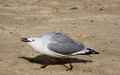 Angry seagull a single running on the beach Royalty Free Stock Photos