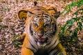 Angry Sumatran Tiger Sumatran tiger face looking Royalty Free Stock Photo