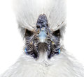 Angry white chicken funny silky Royalty Free Stock Image