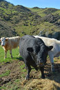 Angus bull and friesian catlle eating lucerne on new zealand far hay a north canterbury hill farm in the scargill valley Royalty Free Stock Images