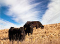 Angus cattle Royalty Free Stock Images
