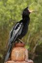 Anhinga anhinga anhinga in everglades national park florida usa Royalty Free Stock Photo