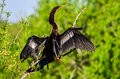 Anhinga anhinga anhinga perched on tree branch with wings spread to dry after fishing in swamps of florida everglades Stock Photos