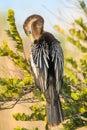 Anhinga anhinga anhinga in the sun one of most common birds florida Stock Image