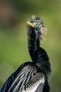 Anhinga anhinga anhinga in the sun one of most common birds florida Royalty Free Stock Images