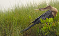 Anhinga anhinga anhinga sunning and drying also know as the snakebird water turkey after diving for prey in a central florida Stock Photography
