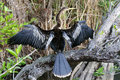 Anhinga, anhinga anhinga, water turkey Royalty Free Stock Images