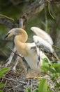 Anhinga anhinga anhinga young chick ready for fledging wakodahatchee wetlands delray beach florida usa photo peter llewellyn Royalty Free Stock Image