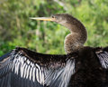 Anhinga bird drying its outstretched wings in the florida everglades Stock Photography