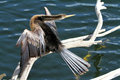 Anhinga bird portrait of taken in the florida everglades the is a water of the warmer parts of the Stock Photo