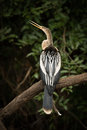Anhinga on dead branch with open beak Royalty Free Stock Photo