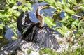 Anhinga dries its wings Royalty Free Stock Photo