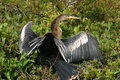 Anhinga an drying its wings in the sun Stock Photo