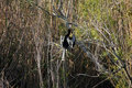 Anhinga sitting on the branch and cleaning feathers. Royalty Free Stock Photo