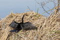 Anhinga sunning drying its feathers an also known as a snakebird or water turkey on cattails by the water Stock Images