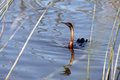 Anhinga waterfowl from south afrika Stock Photography