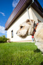 Animal adult dog pet on the walk in the garden as mans best friend portrait of beige exterior Royalty Free Stock Photo