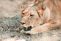 Animal African Lioness