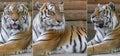 Animal Amur Tigers