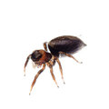 Animal black jumping spider Royalty Free Stock Photo