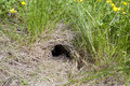 Animal burrow wild digging in earth Royalty Free Stock Photo