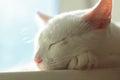 animal, cat, kitten, cat, white cat, cat portrait, Royalty Free Stock Photo