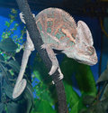 Animal chameleon sitting on a tree branch Royalty Free Stock Photography