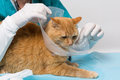 Animal clinic cat getting ruff red tiger a at a Royalty Free Stock Photos