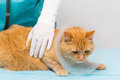 Animal clinic cat getting ruff red tiger a at a Royalty Free Stock Image