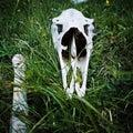 Animal cranium elk on green gras Royalty Free Stock Image