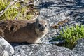 Animal Dassy On Table Mountain...