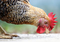 The animal, the domesticated fowl, Royalty Free Stock Photo