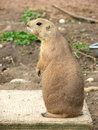 Animal expressions-Prairie dog Royalty Free Stock Photo