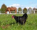 Animal farm horse and black hen scenery Stock Photo
