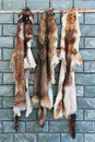 Animal furs hanging on a wall Royalty Free Stock Photo